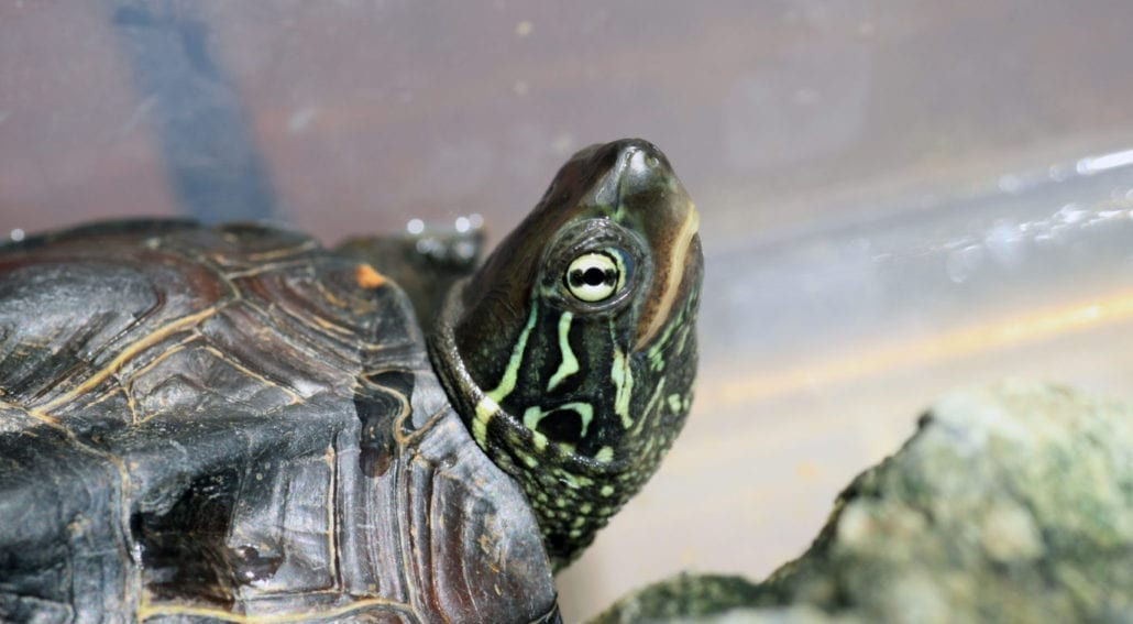 3 keeled box turtle xl