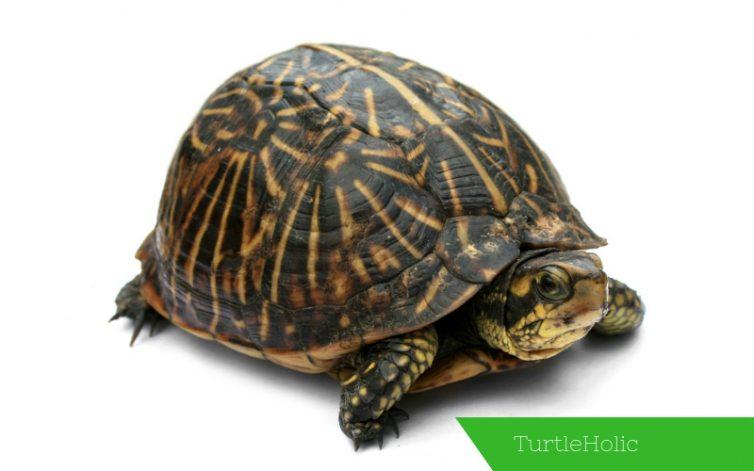 Box Turtle Content