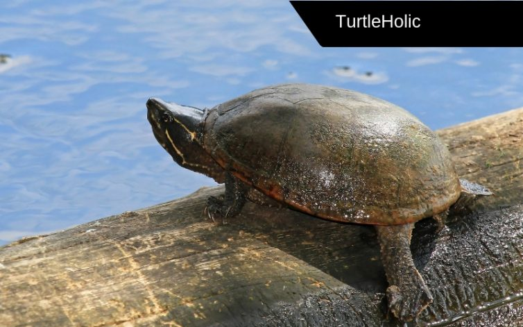 Common Musk Turtle Content