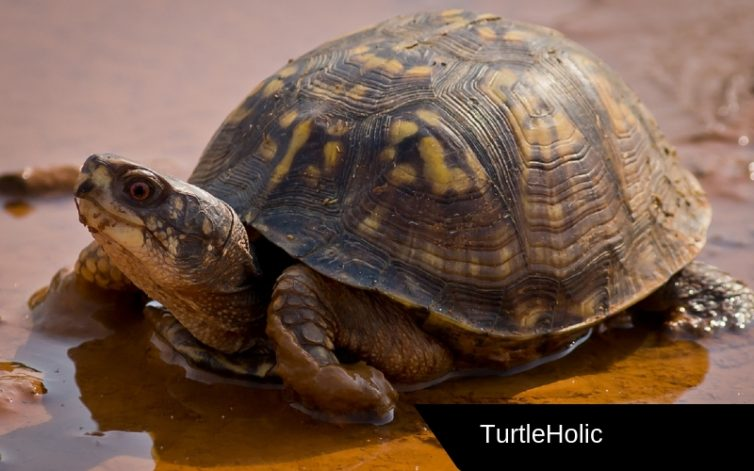 Eastern Box Turtle in Content XL