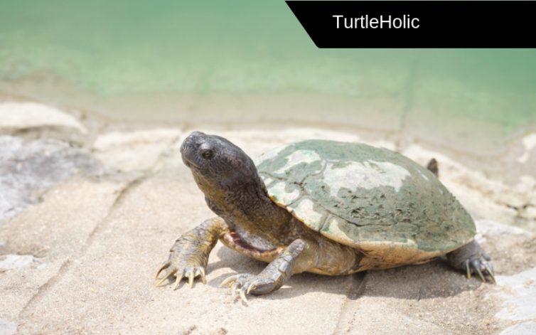 Mud Turtle Content