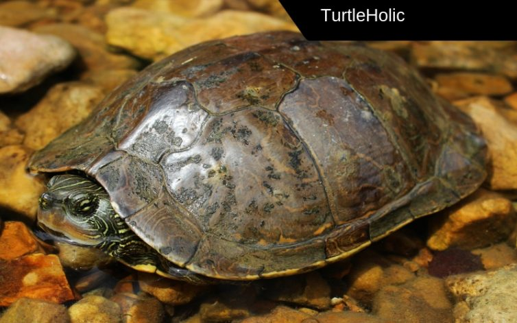 Northern Map Turtle Content