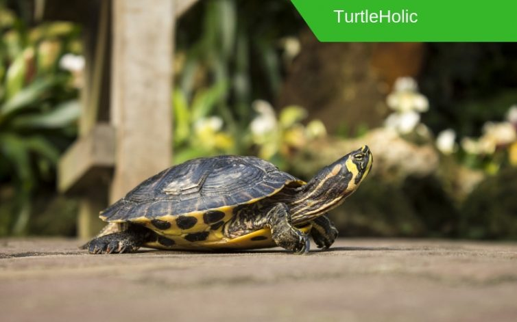 Painted Turtle content 2
