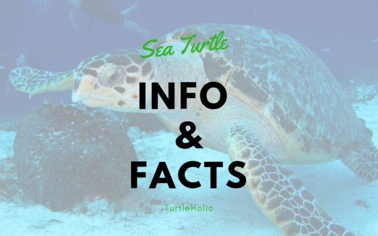 Sea Turtle Info Main