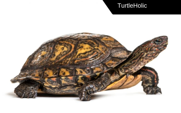 Wood Turtle Content