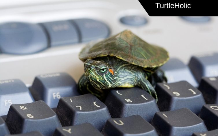baby red eared slider care content