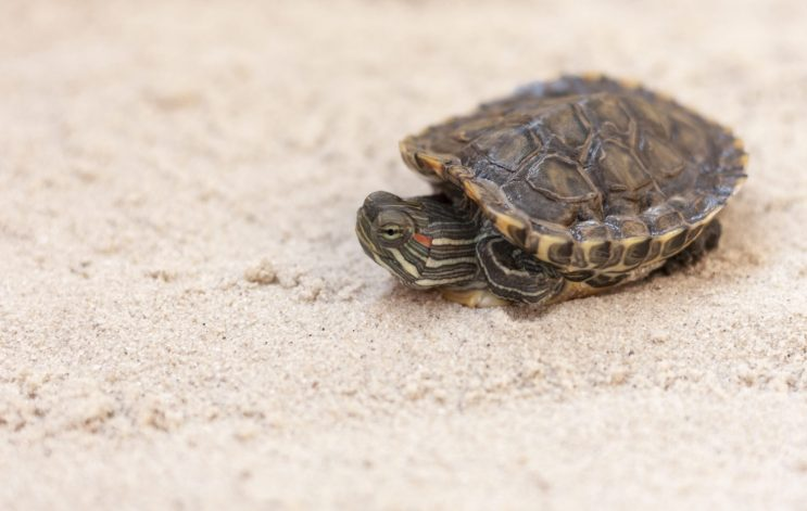 You Need To Know This About Baby Red Eared Slider Care Turtleholic,Bleeding Heart Flower Tattoo Meaning