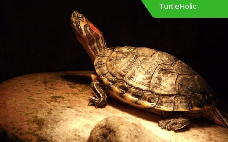 This Is The Best Turtle Basking Light Wattage Turtleholic