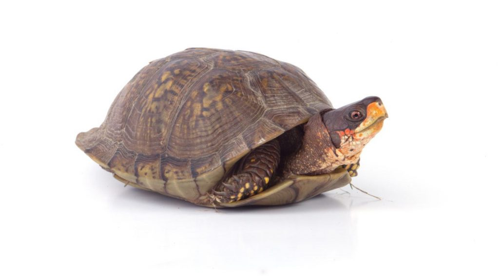 can box turtles swim featured