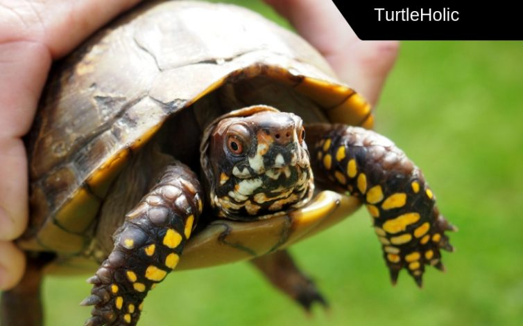 Can Box Turtles Swim The Revealing Truth Turtleholic