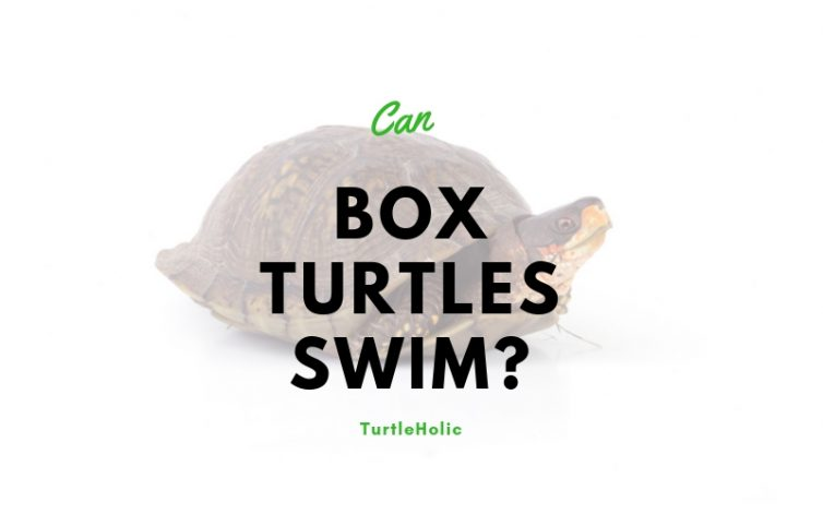 can box turtles swim main