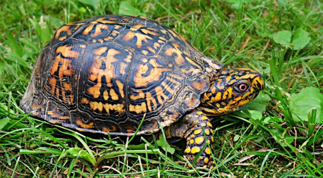 eastern box turtle main xl