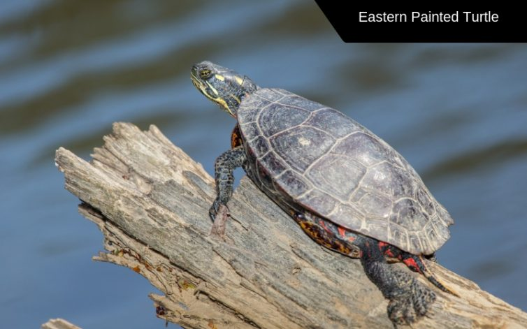 eastern painted turtle species