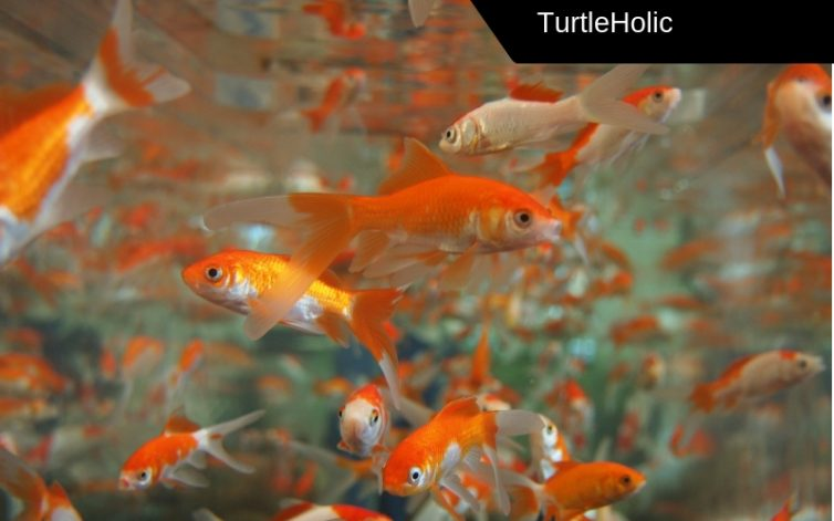 Feeder Fish for Turtles - What You Need to Know! - TurtleHolic
