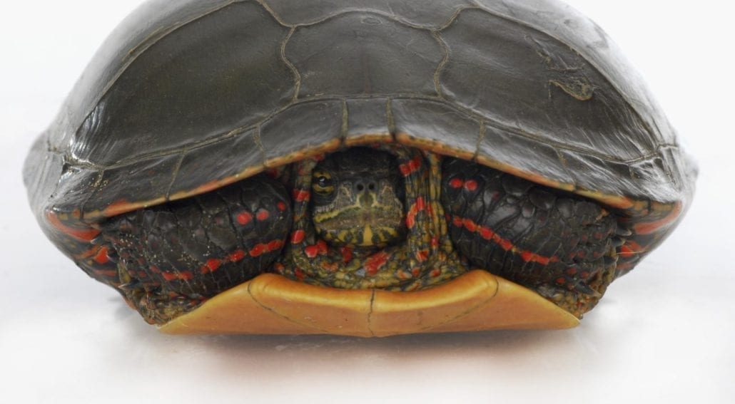 how identify painted turtles species featured
