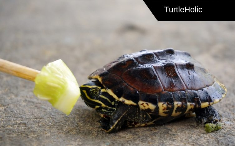 how long can turtles live without food content