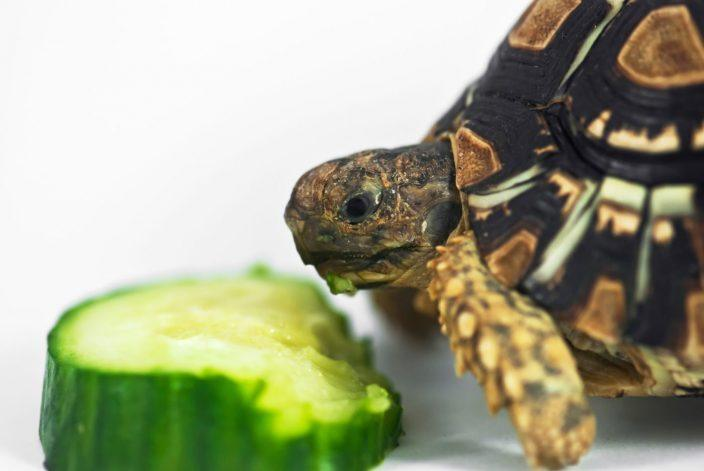 box turtle eating cucumber