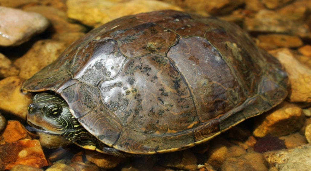 map turtle xl