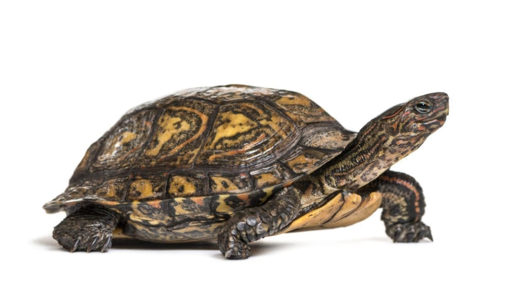 Ornate or painted wood turtle