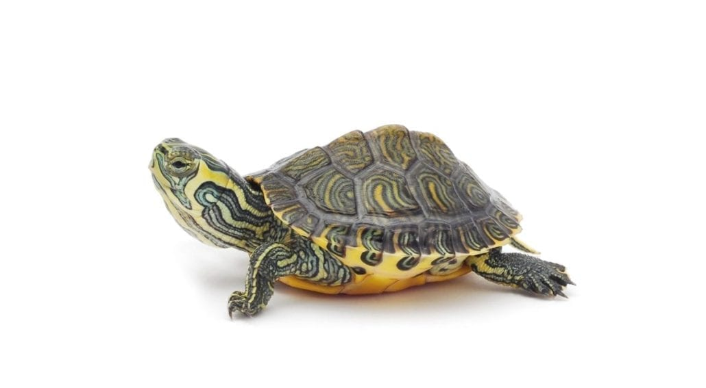 painted turtle featured image