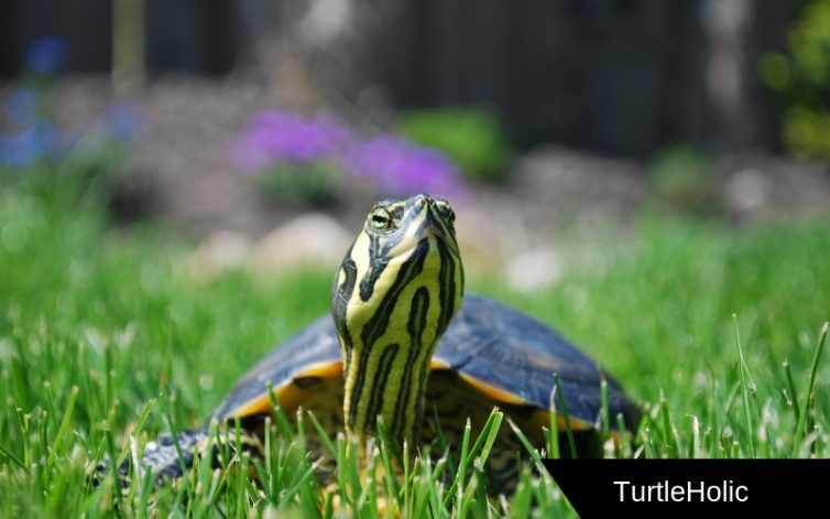 what do turtles eat content