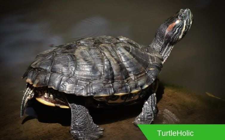 where can i find turtles content