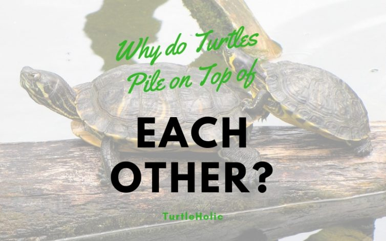 why turtles pile on top each other main