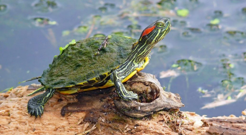 How Clean Red Eared Sliders Shell featured