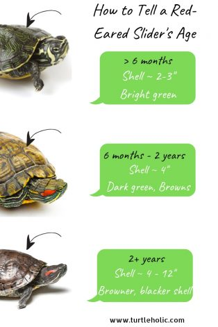 How to Tell a Red-Eared Slider's Age