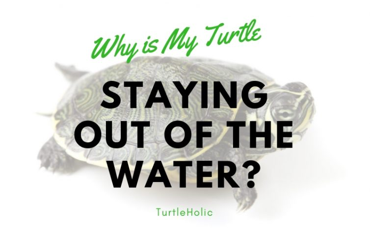 Why is My Turtle Staying Out of the Water main