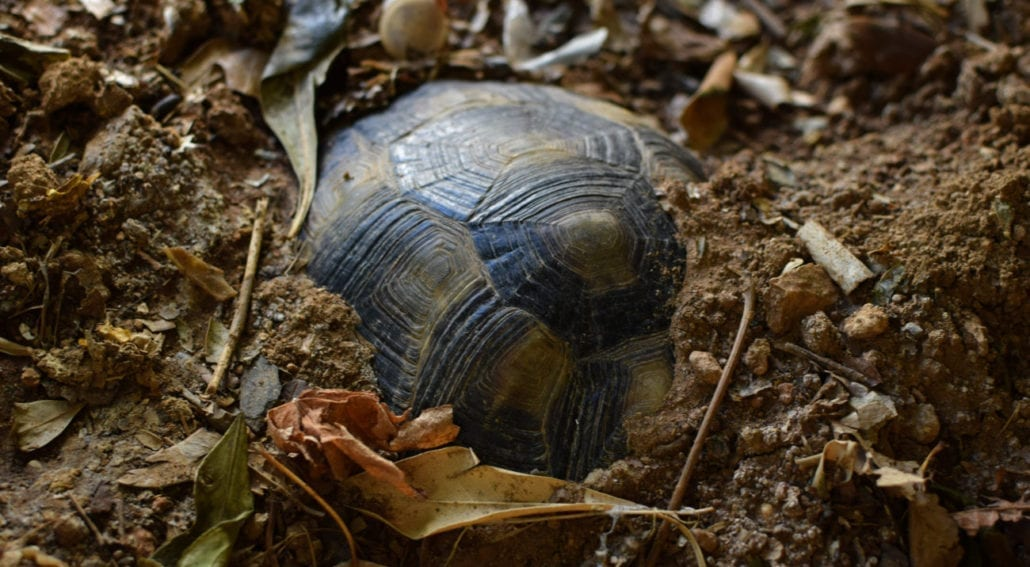 Why is My Box Turtle Digging featured picture