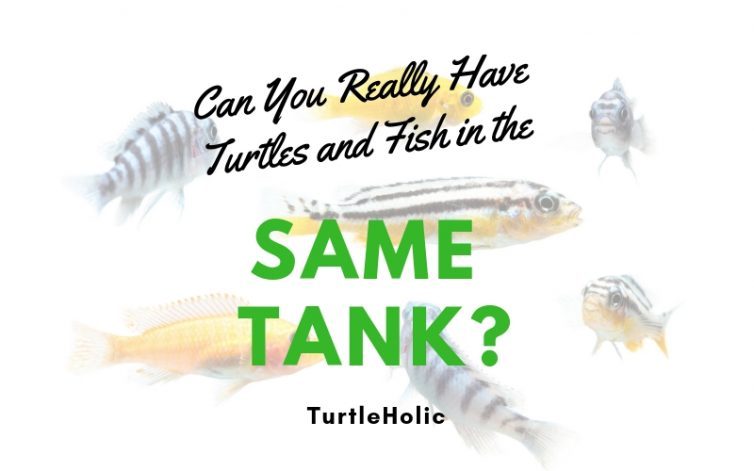 Can Really Have Turtles Fish Same Tank main