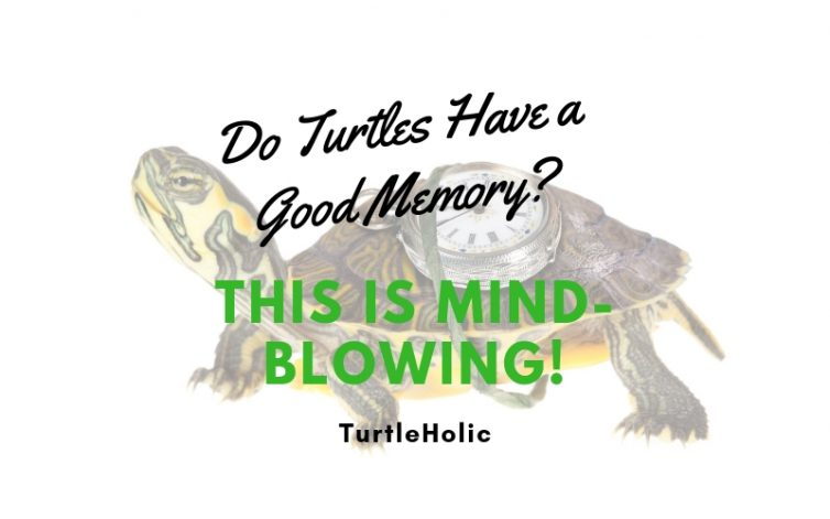 Do Turtles Have Good Memory Mind Blowing Main