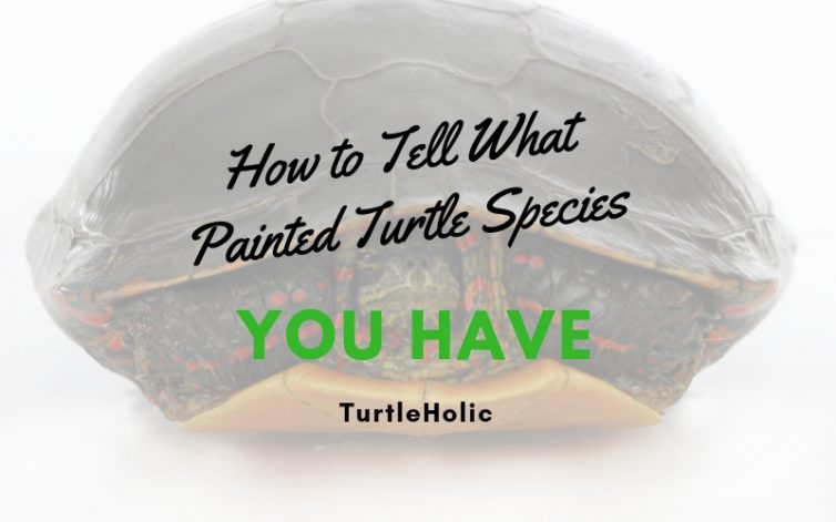 How Tell What Painted Turtle Species You Have main