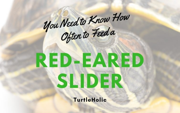 Need Know How Often Feed Red Eared Slider main