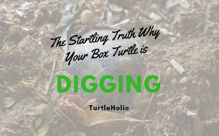Startling Truth Why Box Turtle Digging