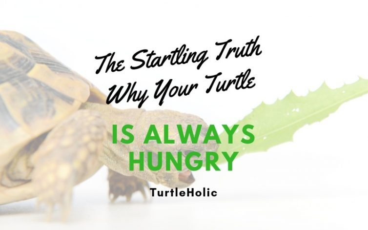 Startling Truth Why Turtle Always Hungry main