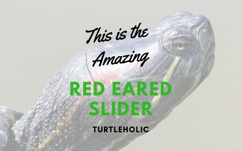 This is the Amazing Red Eared Slider main picture