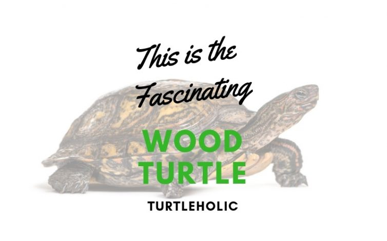 This is the Fascinating Wood Turtle main picture