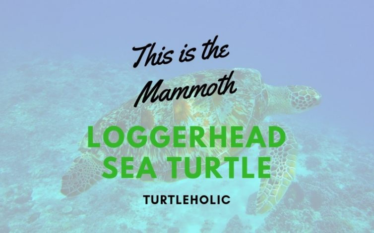 This is the Mammoth Loggerhead Sea Turtle main picture