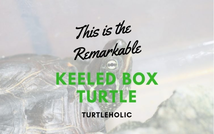 This is the Remarkable Keeled Box Turtle main picture