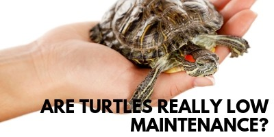 Are Turtles Low Maintenance The Surprising Truth link picture
