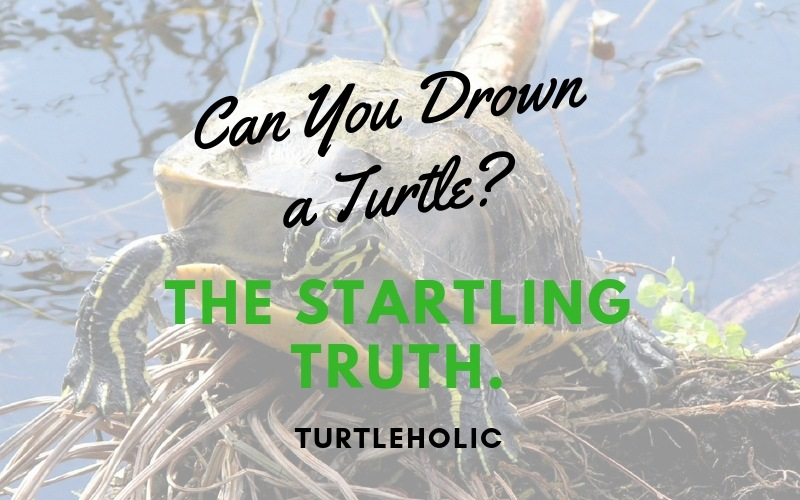 Can You Drown a Turtle The Startling Truth. main picture