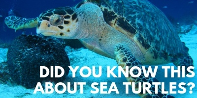 Did You Know This About Sea Turtles picture link