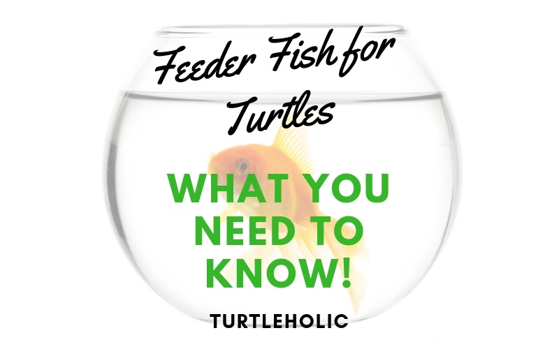 Feeder Fish For Turtles - What You Need to Know main picture
