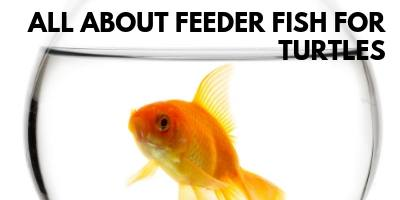 Feeder Fish for Turtles - What You Need to Know link picture