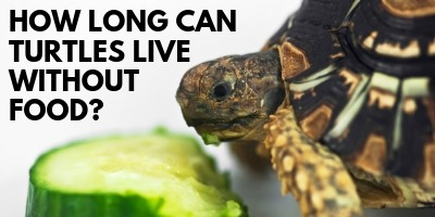 How Long Can Turtles Live Without Food link picture