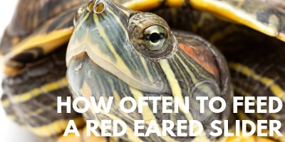 How Often to Feed a Red Eared Slider link picture