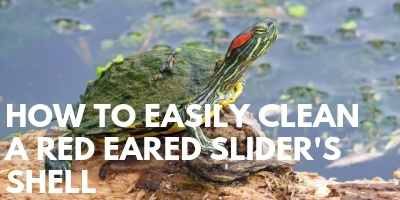 How to Easily Clean a Red Eared Sliders Shell link picture