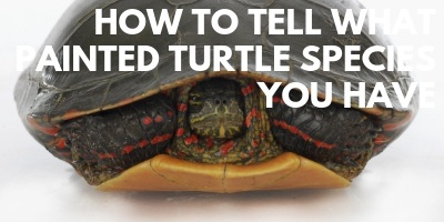 How to Tell What Painted Turtle Species You Have link picture